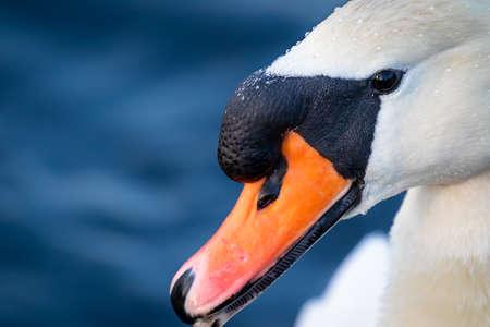 head shot portrait of a white swan Imagens