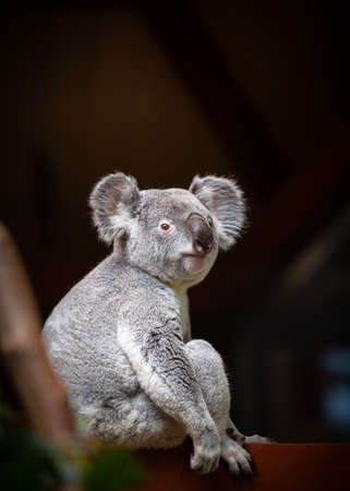 A portrait image of wild koala sitting on a tree