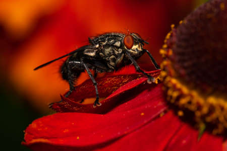 common house fly image on a red flower 版權商用圖片