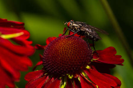 common house fly macro image on a red flower Zdjęcie Seryjne
