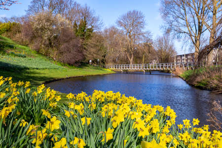 landscape image spring flower daffodils narcisses blooming in the city of The Hague,The Netherlands