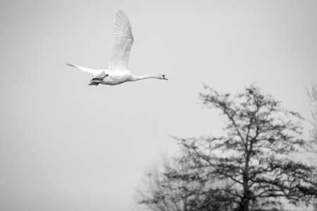 a flying image of single beautiful white swan cygnus bird in black and white