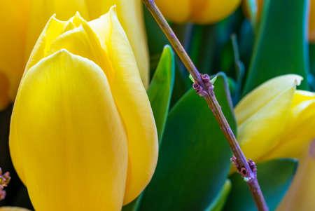 Yellow tulip flower close up macro selective focus blur