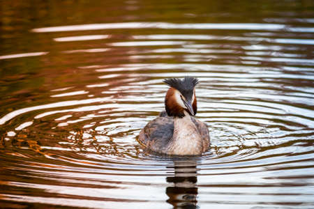 portrait of a great crested grebe in a pond water