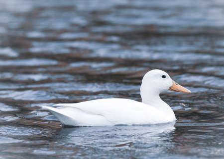portrait of a white albino mallard duck bird in a pond water 版權商用圖片