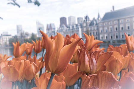 Spring flower tulips at the Netherlands parliament in the city of The Hague, selective focus blur
