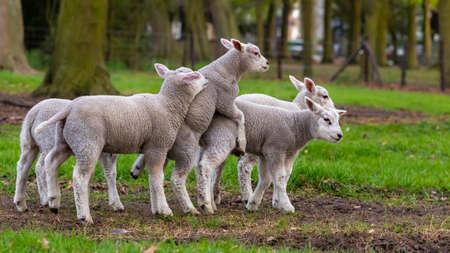 agneaux joyeux et ludiques dans le ranch mise au point sélective flou animal de bétail