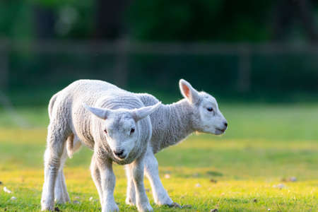 cheerful and playful lambs in the ranch selective focus blur cattle animal