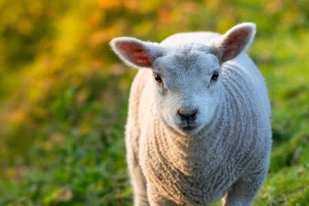 herd of lamb feeding on ranch grass farm cattle animal selective focus 版權商用圖片