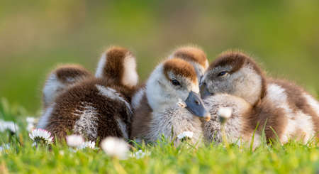 cute chicks of an egyptian goose new born babies birds in a park during spring season