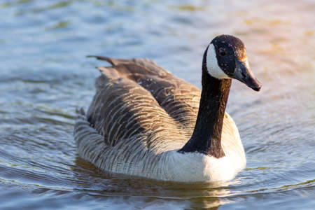 A canadian goose in the pond