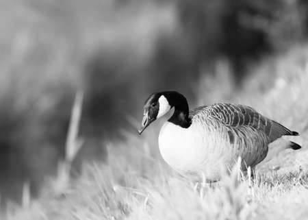 Black and white portrait of a canadian goose   selective focus blur