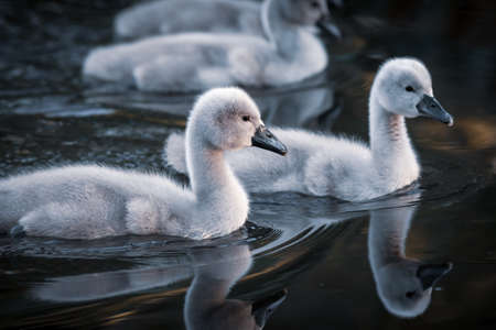 chicks of a white swan playing the pond water close up selective focus blur background 版權商用圖片