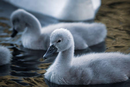 chicks of a white swan playing the pond water close up selective focus blur back ground beautiful image