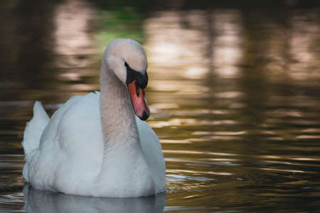 portrait of a beautiful white swan cygnus bird in a water pond