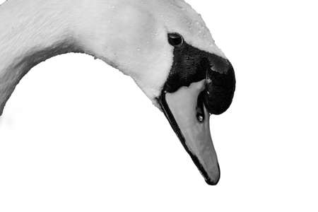 portrait of a beautiful white swan cygnus bird in a water pond head shot black and white 版權商用圖片