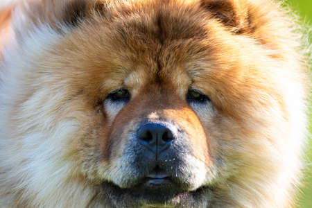 Close up face portrait of a brown chow chow dog breed 版權商用圖片