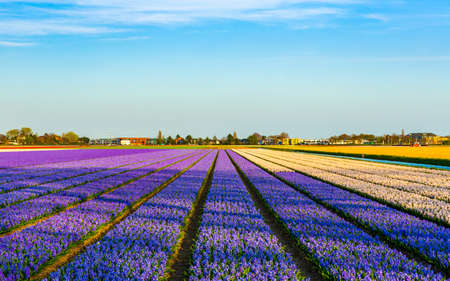 purple blue lavender flower field in the Netherlands landscape photo