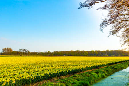 beautiful Narcissus deffodils flower field in the netherlands farming