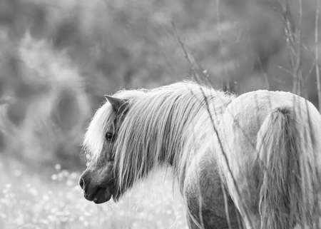 artistic portrait of a dwarf horse in black and white grey scale selective focus background blur