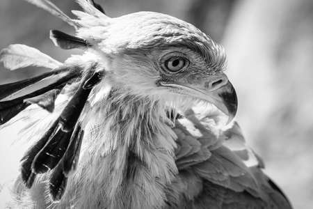 close up of an African secretary bird of prey head shot close up black and white greyscale