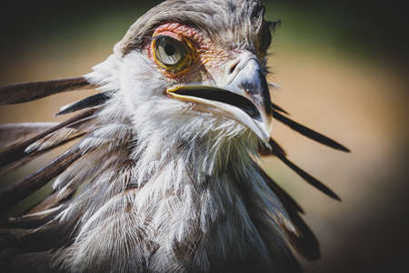 close up of an African secretary bird of prey head shot close up image