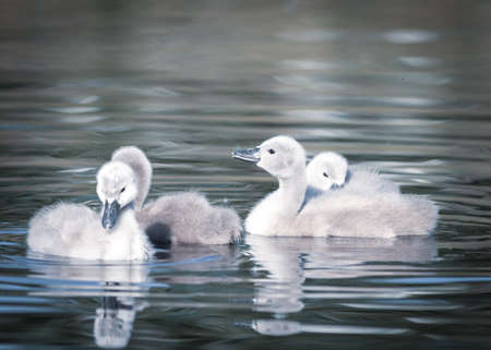 chicks of a white swan playing the pond water close up selective focus blur background image