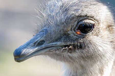 head shot of a Darwins nandoe bird south American Rhea pennata bird 版權商用圖片