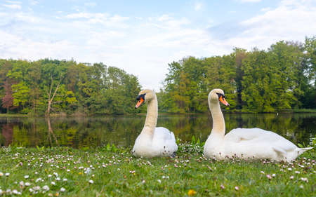 pair of a white swan on the bank of a pond in a city park