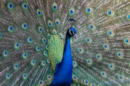 portrait of a male colorful peacock bird with flared tail