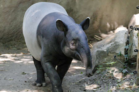 Exotic mammal Tapir found in south America and Asia pig like animal 版權商用圖片