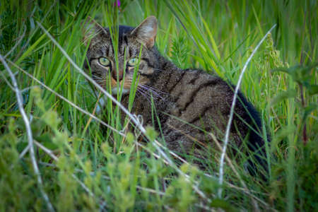 a scared and astonished wild stray cat between the grass strands onlooking 版權商用圖片
