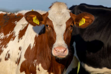 Irish simmental cattle in a farm ranch in Europe for milk and meat business