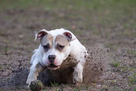 Pitbull dog in an attacking mode with splashing of mud dangerous