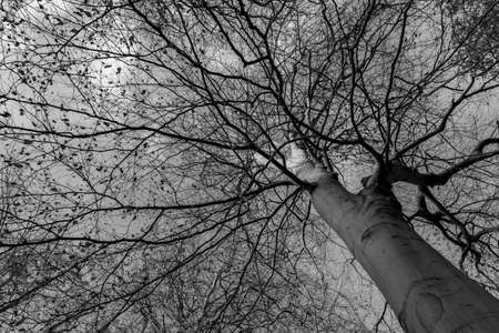 beech tree branches in winter from below in black and white abstract background