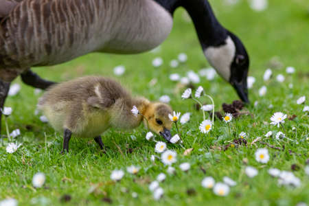 Chick and mother branta canadian goose grazing on a grass lawn