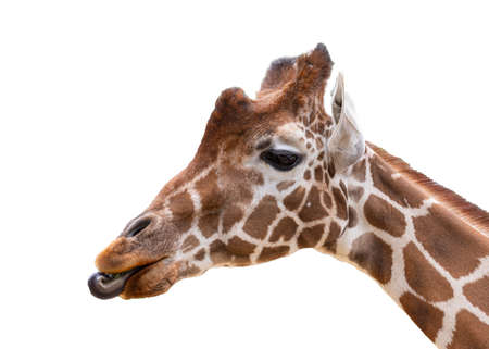 Giraffe close up portrait headshot isolated cut out