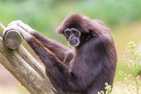 Lar gibbon white handed gibbon ape monkey portrait close up