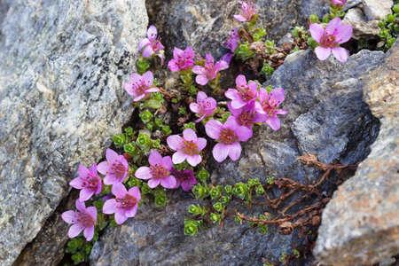 aosta: flower, mountain, alpine, purple, calcarata, spurred violet, purple, flora, summer, alps, Aosta, Cogne, Italy, nature, rock, valley, wilderness, windflower Stock Photo