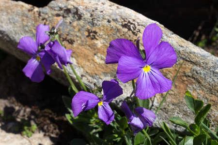 aosta: Alpine flower calcarata Viola, Aosta valley