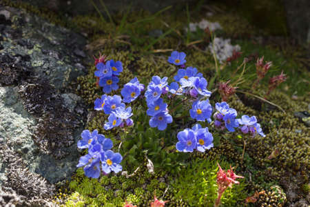 aosta: Alpine flower Eritrichium nanum (arctic alpine forget-me-not), Aosta Valley Stock Photo