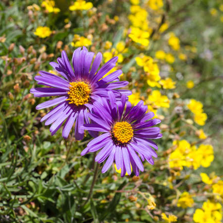aosta: Alpine flower, aster alpinus, Aosta valley Italy