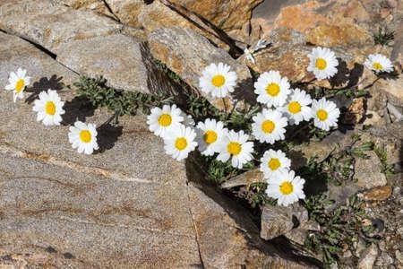aosta: Alpine flower Alpine leucanthemopsis (Alpine moon daisy), Aosta Valley Italy Stock Photo