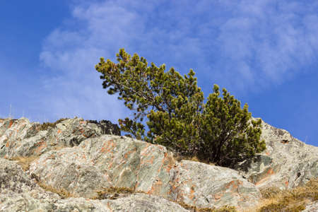 mugo: Pinus mugo, bent by the wind. Concept of resistance and power Stock Photo