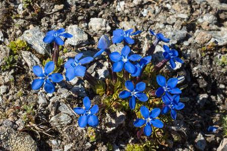 Alpine flower Gentiana Orbicularis Schur. Aosta valley, Italy. Photo taken at an altitude of 2700 meters Stock Photo