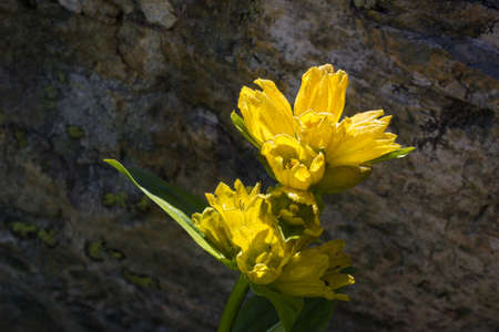 Alpine flower Gentiana Punctata (Spotted Gentian) with rock as background. Backlit shot, Aosta valley