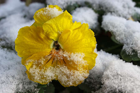 Snow on a yellow Pansy flower (Viola Tricolor) during the siberian icy wind at the end of February 2018 in northern Italy