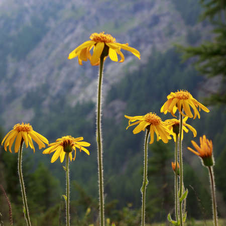 Alpine wild flower Arnica Montana, medicinal plant. Low perspective and backlit shot. Aosta valley, Italy