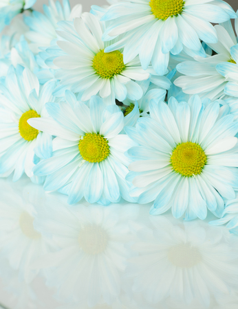 chamomile flower: white blue daisy flowers background with copy space