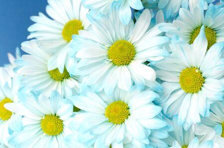 blue daisy: white blue daisy flowers background Stock Photo